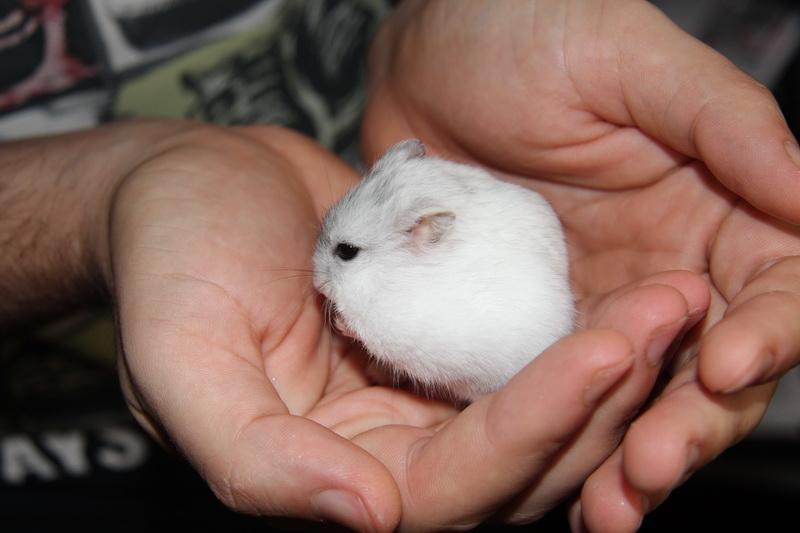 hamster pitic
