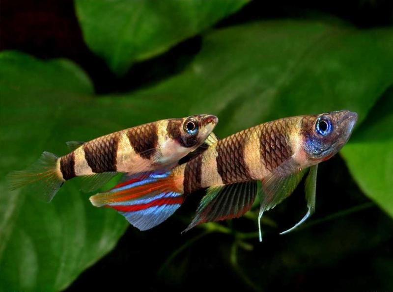 [Thumb - clown-killifish-epiplatys-annulatus.jpg]