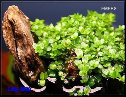 Plante crescute emers